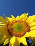 Sunflower. Yellow sunflower stock image
