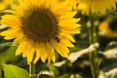 Sunflower..... Sunflowers in the Izmir/Turkey Stock Photography
