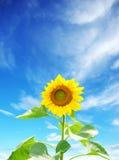 Sunflower. Bright yellow sunflower under blue sky Stock Images