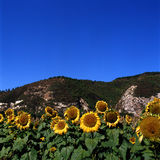 Sunflower. A very beautiful sunflower  in the roadside Stock Photo