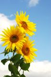 Sunflower. On a background of the sky in a sunny day Stock Image