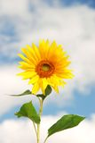 Sunflower. On a background of the sky in a sunny day Royalty Free Stock Images