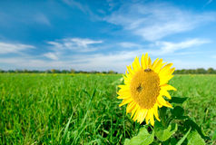 Sunflower. Flowering in October, closeup flower stock photos