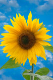 Sunflower. Absolutely beautiful shot of sunflower Stock Image