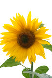 Sunflower. Bright yellow sunflower on white background Royalty Free Stock Images