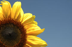 Sunflower. Against blue sky Stock Photo