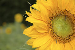 Sunflower. Against green background Royalty Free Stock Image