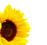 Sunflower. Isolated on a white background royalty free stock photo