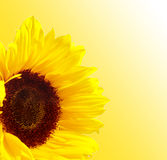 Sunflower. Background Royalty Free Stock Image