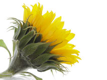 Sunflower. Reaching for the sun royalty free stock photos