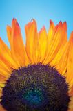 Sunflower. Closeup of sunflower stock photos