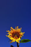 Sunflower. Under the blue sky of the sunflower in full bloom Stock Photo