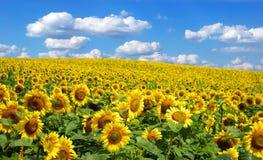 sunflower Royaltyfri Foto