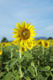 Sunflower. In  field Thailand stock image