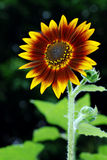 Sunflower. I like Sunflower.And I took this photo with the flash on Royalty Free Stock Photos