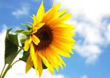 Sunflower. On a background of the sky in a sunny day Royalty Free Stock Photography