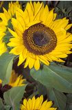 Sunflower. Meadow of Sunflowers royalty free stock image