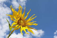 The Sunflower Stock Photography