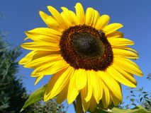 Sunflower. A beautiful light yellow sunflower of our garden Royalty Free Stock Photo