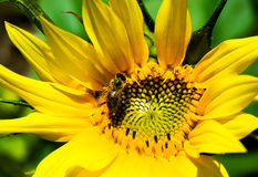 Sunflower. A young sunflower with a bean Royalty Free Stock Images
