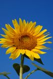 Sunflower. Single Sunflower with Blue Sky Background Royalty Free Stock Photography