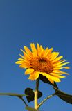 Sunflower. With Clear and Blue Sky Background Royalty Free Stock Photo