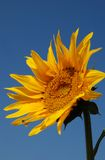 Sunflower. With Clear and Blue Sky Background Royalty Free Stock Photos