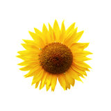 Sunflower. Yellow sunflower isolated on white Stock Image