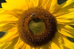Sunflower. In bloom with a bee Stock Photography
