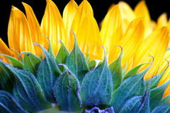 Sunflower. Close up back of sunflower petals Stock Photography