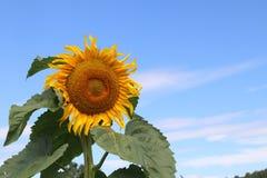 SunFlower1 Royaltyfri Fotografi