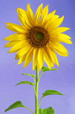 Sunflower. On background Stock Images