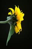 Sunflower. Against black background Stock Photo