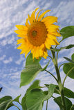 Sunflower. Closeup of a sunflower against a blue sky Royalty Free Stock Photo