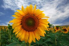 Sunflower. Field of Turkey.  close up Royalty Free Stock Photos