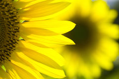 Sunflower 8 Royalty Free Stock Images