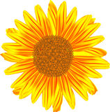 Sunflower. In vector on white background Royalty Free Stock Photo