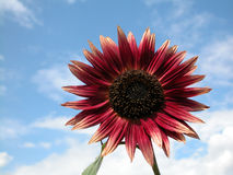 Sunflower. On the blue sky Stock Photography