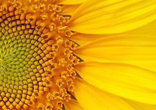 Sunflower. Closeup of Vivid Sunflower Part Royalty Free Stock Photography
