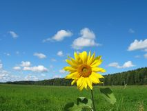 Sunflower. In the field Royalty Free Stock Images