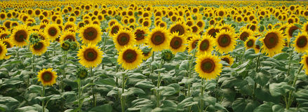 Free Sunflower Royalty Free Stock Image - 8436556