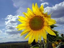 Sunflower. S field Royalty Free Stock Photo