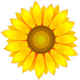 Sunflower. Vector illustration of yellow sunflower Royalty Free Stock Photo