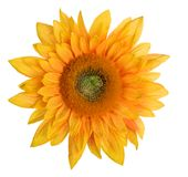Sunflower. Head of sunflower on white background Stock Photos