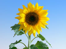 Sunflower. At blue background Royalty Free Stock Photography