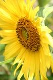 Sunflower. Closeup Stock Photography