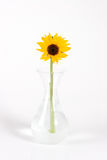 Sunflower. Inside a Jar on white background Stock Image