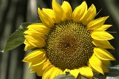 Sunflower. In beautifull light royalty free stock photography