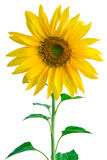 Sunflower. On white Royalty Free Stock Images