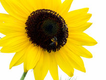 SUNFLOWER. Close uo of a sunflower with a worker-bee on it royalty free stock photo